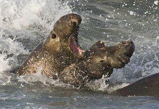 800px-Elephant_seals_fighting