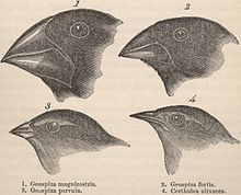 Darwin Finches