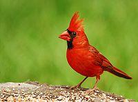 200px-Cardinal