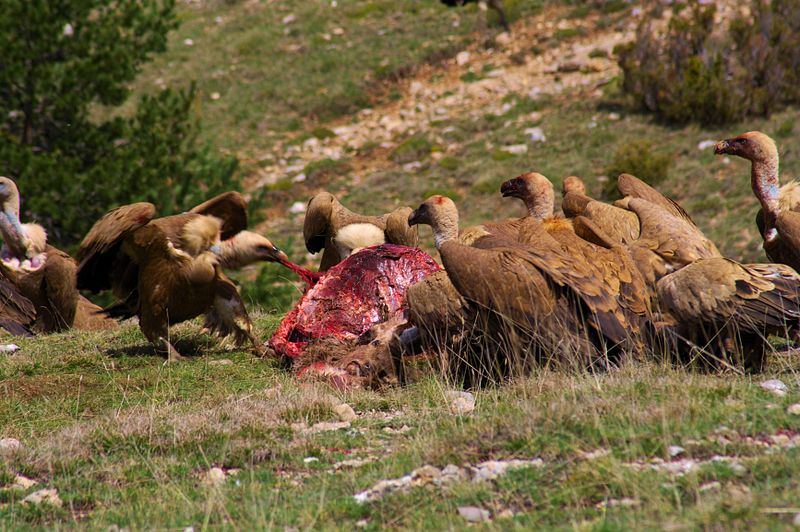 Vultures feeding on carcass