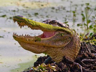 Karen Jones ain't no Gator