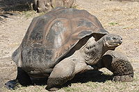 200px-Galapagos_giant_tortoise_Geochelone_elephantopus