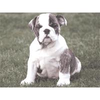Watchdog bull dog