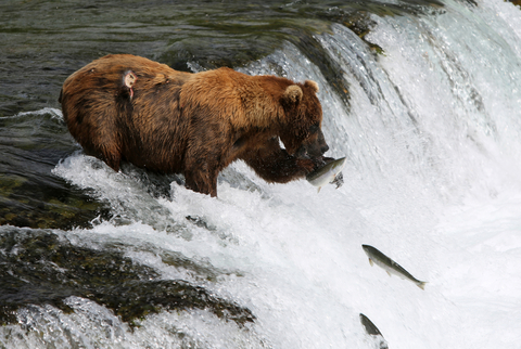 Bear Fishing Payment Stream