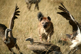 Hyenas vultures in cash now symphony