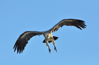 Vulture swooping in