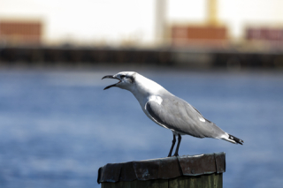 Portsmouth VA seagull