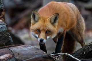 Fox in hen house